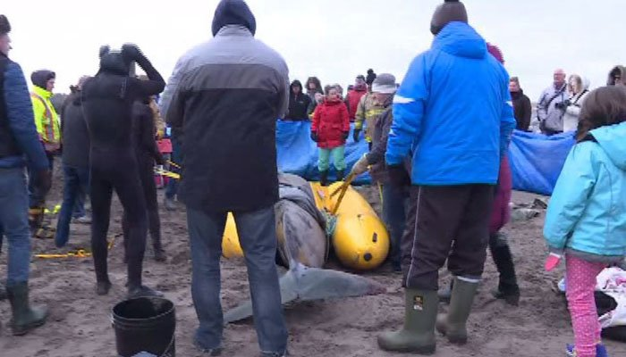 Around 100 volunteers rescued a beached whale in -4 degrees Fahrenheit on New Year's Day. (Source: CBC/CNN)