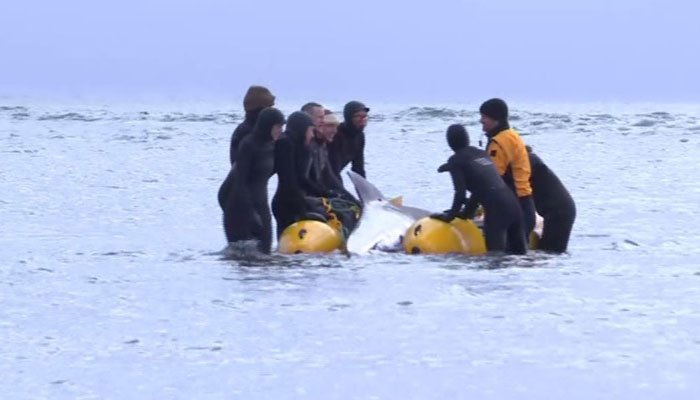 The tide was low, so getting the beached whale back into the sea proved challenging. (Source: CBC/CNN)