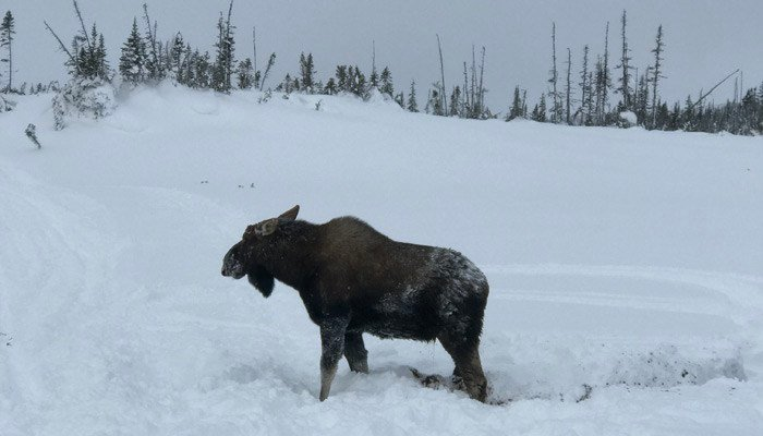 Moose walks away after being freed by snowmobilers. (Source: Sledcore Ride Clinics)