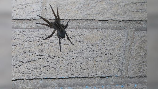 """A caregiver for one of the men living in the apartment described the spider as """"a huge wolf spider."""" (Source: Lotzman Katzman/Flickr)"""