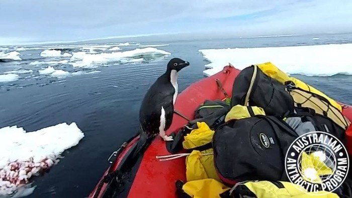 A researcher with the Australian Antarctic Division recorded the run-in with the aquatic bird, and it was posted on the organization's Facebook page. (Source: Australian Antarctic Division/Facebook)