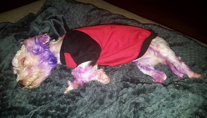 Using dye meant for human hair badly injured Violet a little Maltese-mix. She's nearly three months into her recovery. (Source: Pinellas County Animal Services/Facebook)