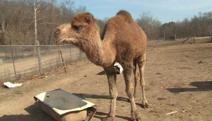 A family member fed the camels late Wednesday afternoon, but may not have latched the gate properly. That's when Jersey, Joe and Jed went on the lam. (Source: KMOV/CNN)