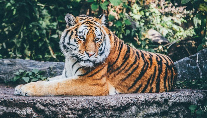 This is a real tiger, but a large stuffed animal that looked a lot like a real one held Scottish police at bay for nearly an hour when it was mistaken for the real thing.