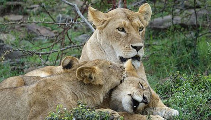 The victim has not yet been identified. Lion body parts are used in traditional medicine. (Source: Pixabay)