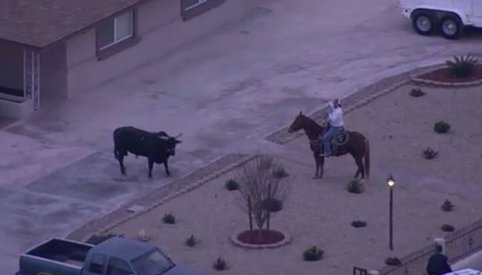 The bull will be taken to a local barn. (Source: KNTV/CNN)
