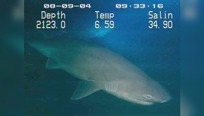 A sixgill shark lurks in the deep waters off of the Gulf of Mexico in this 2004 file photo. It turns out that scientists have determined these sharks are a separate species. (Source: NOAA)