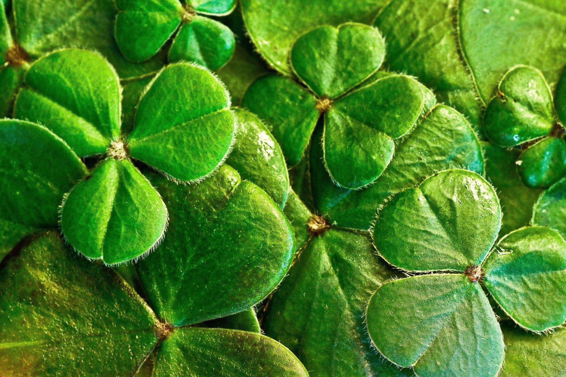 St. Patrick's stature grew in Ireland over the centuries, and around the 9th or 10th century Irish Christians began observing a feast day in his honor on March 17, the day he departed this wicked world. (Source: Pixabay)