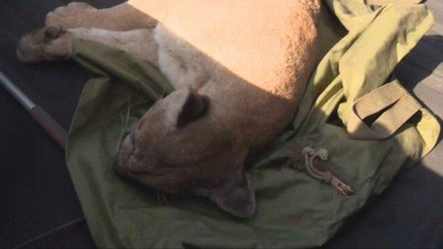 Mountain Lion Hunkers Down In Backyard Of Azusa Home