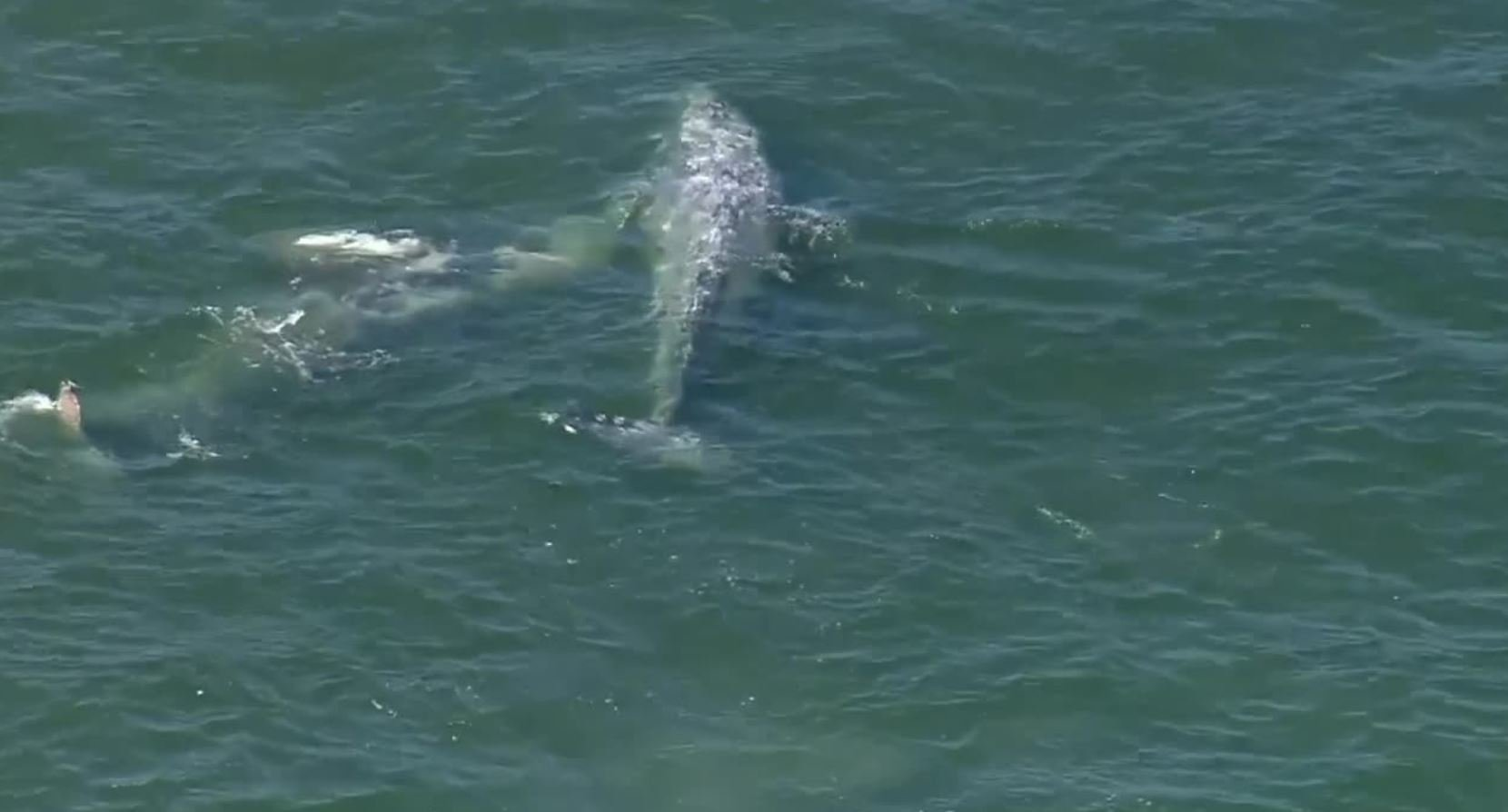Officials Monitoring 2 Whales Spotted Swimming Off Seal Beach