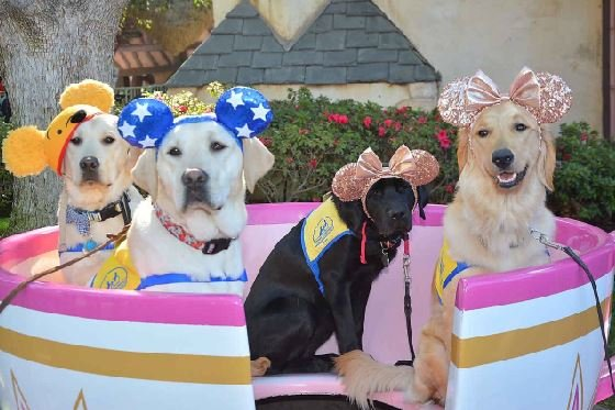 The organization said the trip to Disney is great socialization for the dogs. (Source: CANINE COMPANIONS FOR INDEPENDENCE)