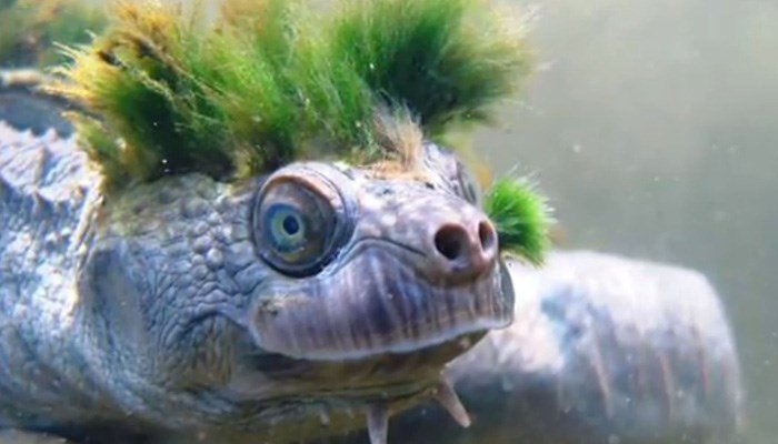 Australia's Mary River Turtle, Among the Most Endangered Species