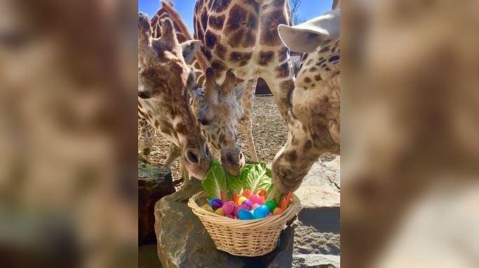 The giraffes at Animal Adventure Park enjoy an Easter treat. (Source: Animal Adventure Park/Facebook)