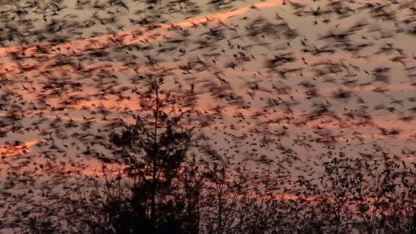 Neighbors of a LaGrange, KY, wooded area expressed their concern about a swarm of thousands of birds causing health and other issues. (Source: WAVE)