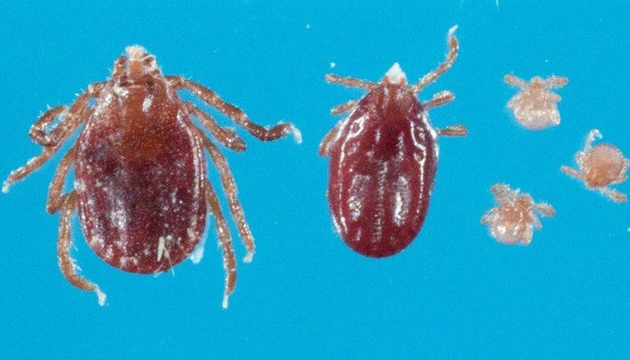 Invasive tick species appears in New Jersey