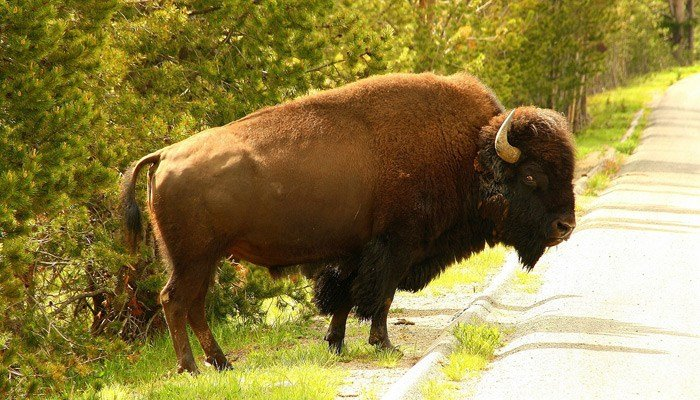 Bison tosses 72-year-old woman off trail in Yellowstone