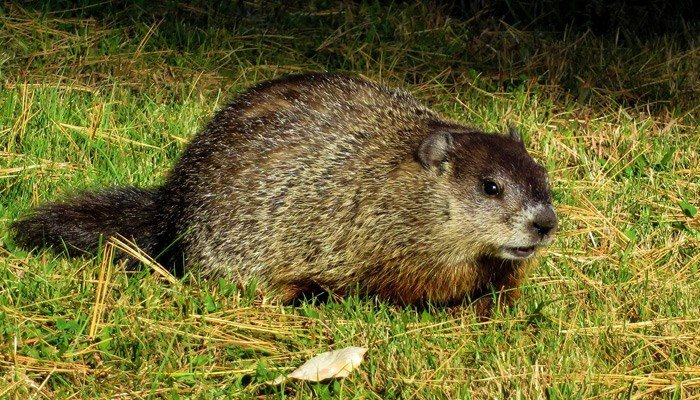 Deputy shooting a groundhog that was 'acting oddly'