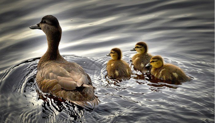 Mama duck and her babies. (Source: Pixabay)