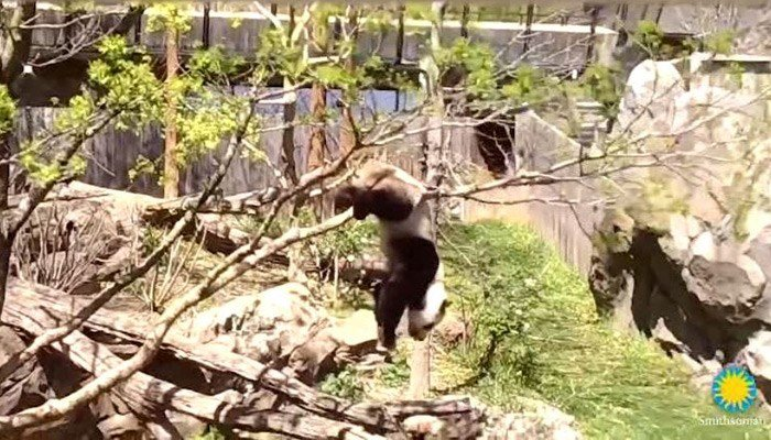 National Zoo caretakers say 2-year-old panda Bei Bei is fine after falling from a tree. (Source: National Zoo/CNN)