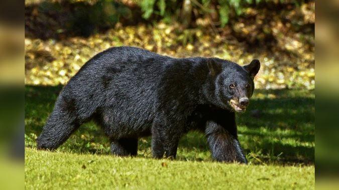 Bear Attacks Girl In Orchard Mesa