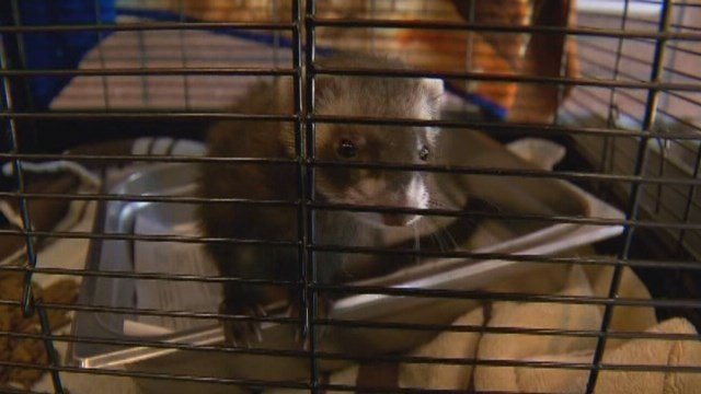 Authorities in Colorado are investigating after someone mailed a live ferret in a cardboard box. (KCNC/CNN)
