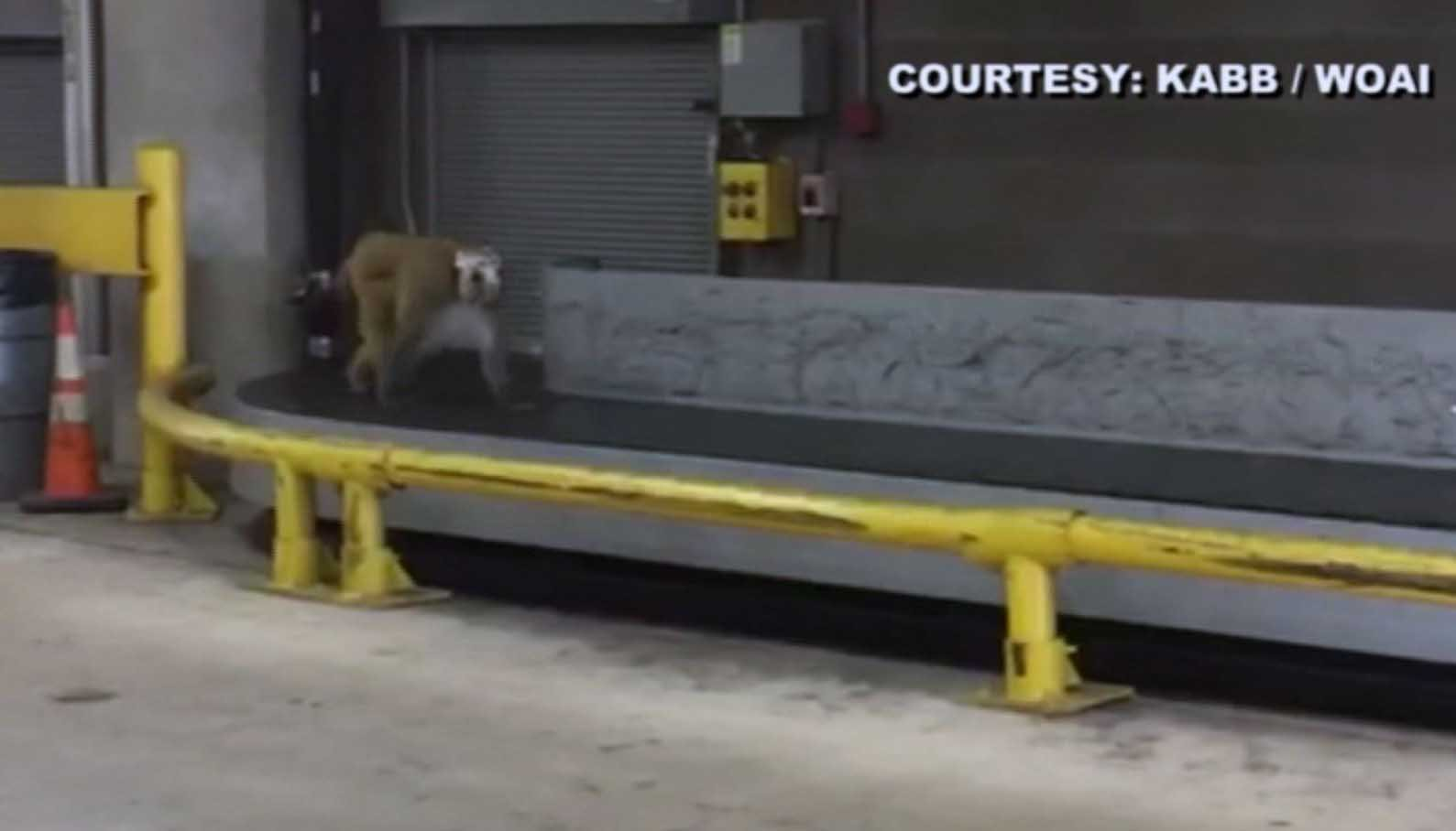 A rhesus macaque named Dawkins wandered the San Antonio International Airport after escaping his crate. (Source: KABB/WOAI/CNN)
