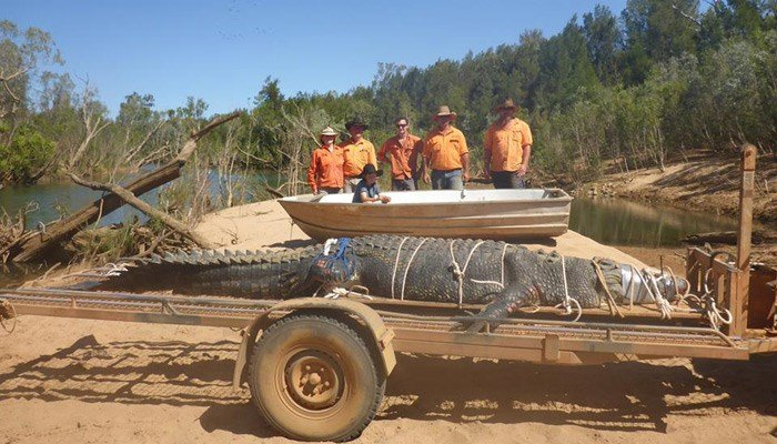 The crocodile is more than 15 feet long and weighs over 1,300 pounds. (Northern Territory Parks and Wildlife Commission)
