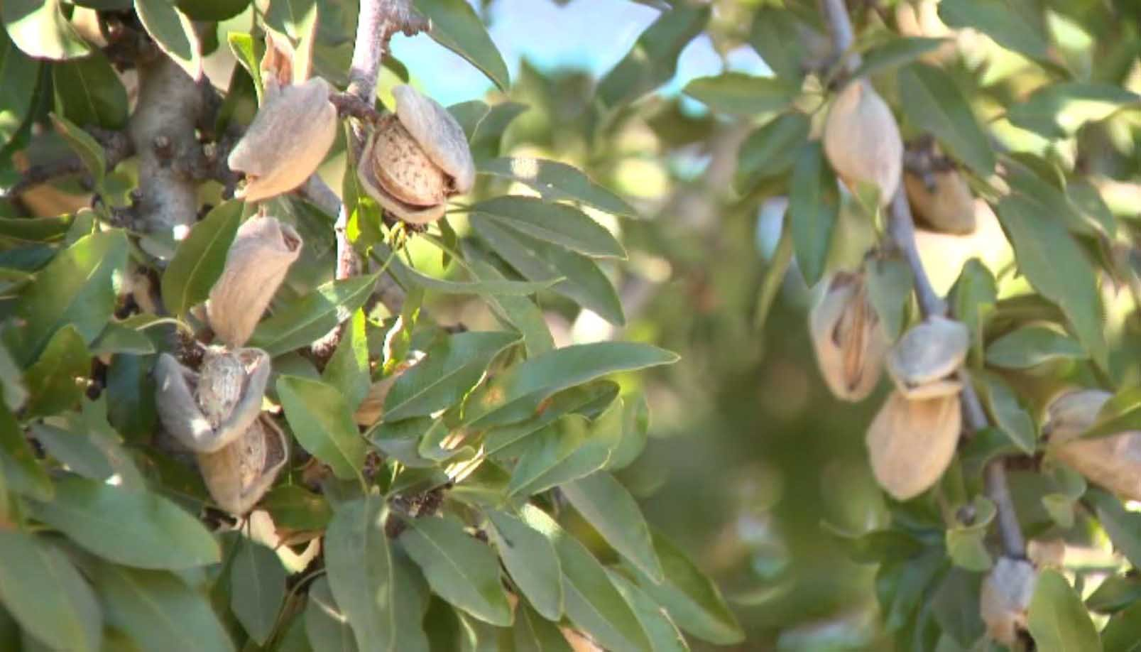 California almond growers worry possible Chinese tariffs could be disastrous for this year's record crop. (Source: KCRA via CNN)