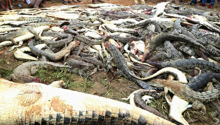 Revenge act sees Indonesian villagers slaughter hundreds of crocodiles
