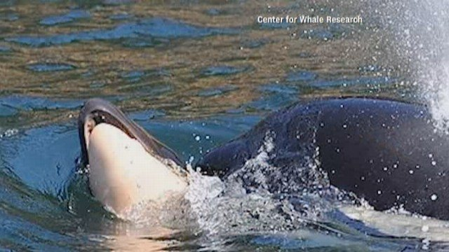Mourning Orca Mother Carries Dead Calf For Week During 'Deep Grieving'