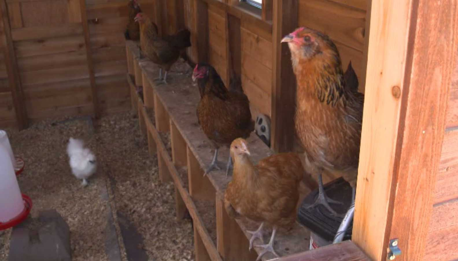 Raising birds in the backyard may pose a serious health risk. (Source: WLNE/KPIX via CNN)