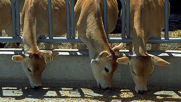A dairy cow in California has tested positive for bovine spongiform encephalopathy, or mad cow disease. (Source: USDA)