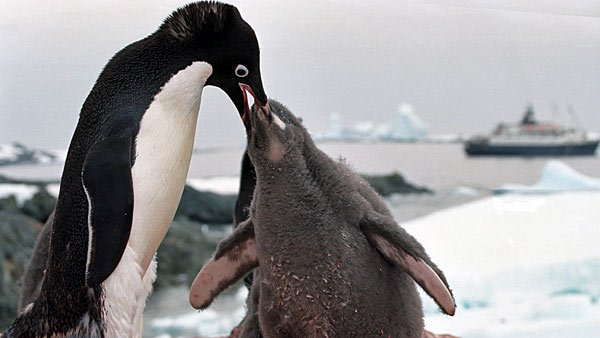 An adult penguin giving a chick some special attention - a site that would make George Murray Levick roll over in his grave. (Source: WikiCommons/Jerzystrzelecki)