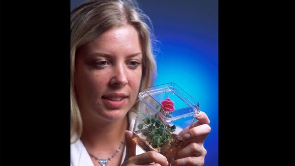 A biotech technician examines a rose plant that began as cells grown in a tissue culture. (Source: GNU Image)