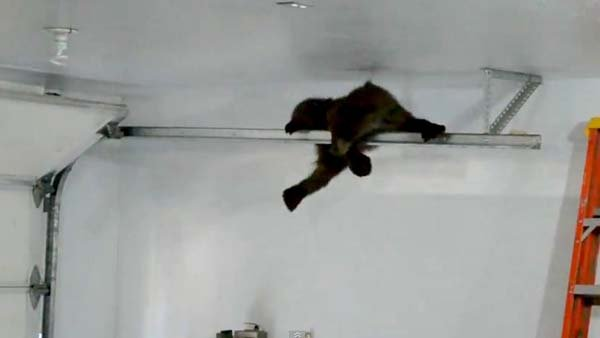 A baby bear hangs on to the garage door track as it calls for mom to come to its rescue. (Source: YouTube)