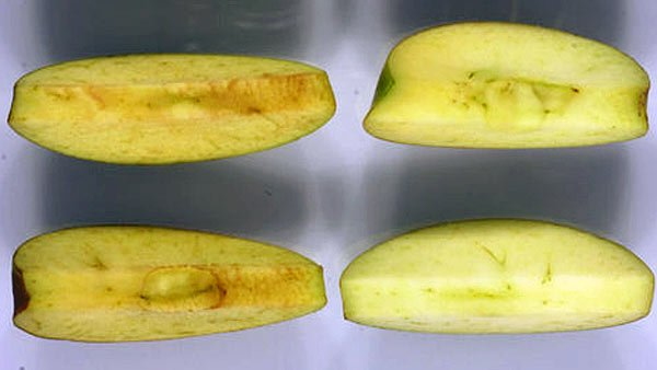 Arctic Apples, right, are pictured next to apples grown normally. A Canadian company is trying to get its genetically altered apples approved for consumption. (Source: Okanagan Specialty Fruits)