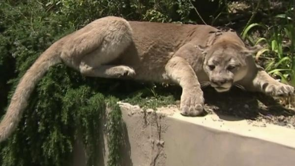A California woman called  the police after seeing stuffed mountain lion in neighbor's yard. (Source: KABC/CNN)