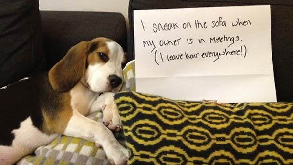 """I sneak on the sofa when my owner is in meetings. I leave hair everywhere!"" (Source: Dogshaming)"