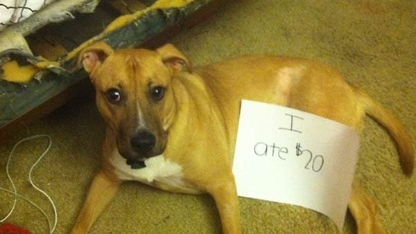 """I ate $20."" (Source: Dogshaming)"