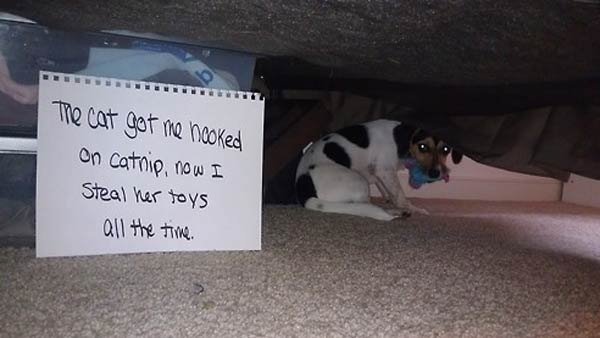 """The cat got me hooked on catnip, now I steal her toys all the time."" (Source: Dogshaming)"