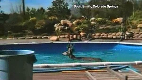 Scott Smith woke up to find this deer swimming in his pool. (Source: KRDO/CNN)