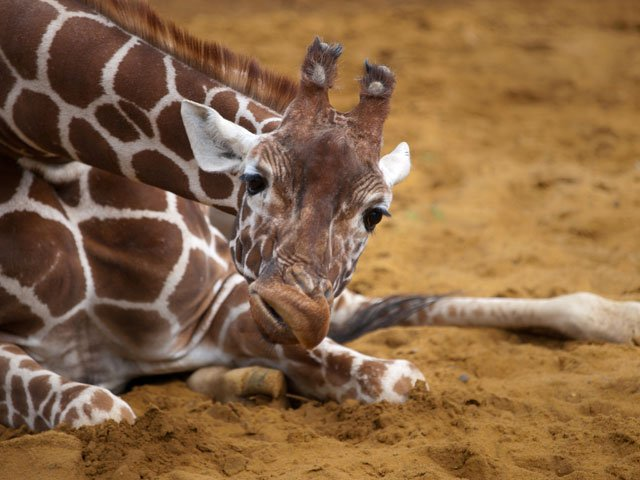 The giraffe's fighting skills are only enhanced by its adorable exterior. (Source: wwarby/Flickr)