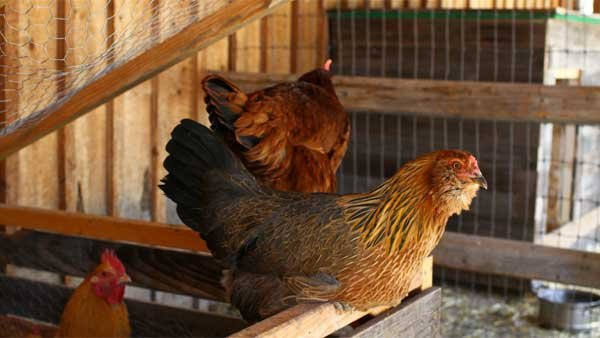 Pictured in the center is an araucana chicken, which lays blue eggs. (Source: http://www.flickr.com/photos/chriswaits/)