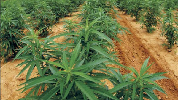 The marijuana legalization ballot in Washington would allow specialty-licensed farmers to grow and cultivate the plant. (Source: Photo Credit: NIDA Marijuana Project at the University of Mississippi)