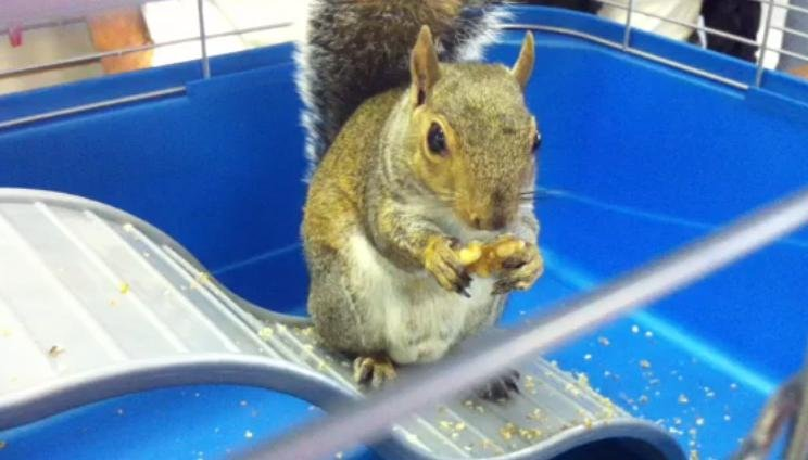 Gnocchi the squirrel ate nine nuts from Romney's bowl, but only five from Obama's. (Source: WCSC)