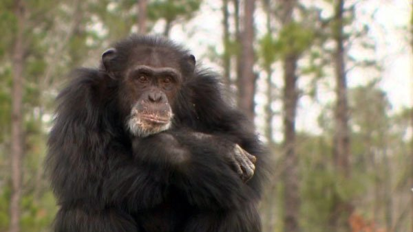 A new study appearing in a National Academy of Sciences journal found that apes may be unhappy in the middle of their lives. (Source: CNN)