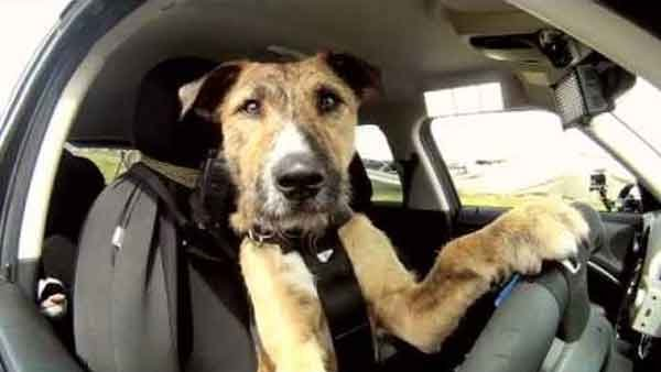 A New Zealand SPCA makes an attempt to get people to adopt rescue dogs by teaching them how to drive. (Source: YouTube)