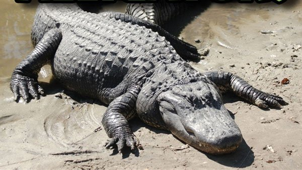 You can add alligator patties to your menu for Lent.