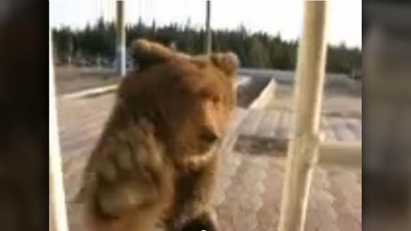 A bear rushes a ticket stand at a train station in Siberia. (Source: The Siberian Times/YouTube)