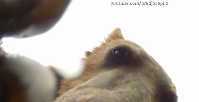 A naturalist filmmaker captured and up close and personal video of a grizzly bear. (Source:  YOUTUBE.COM/BRADJOSPEHS/CNN) 